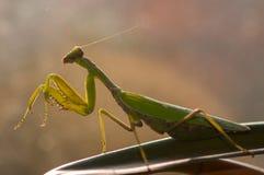 Praying mantis Mantis religiosa on a beautiful light.  Stock Photos