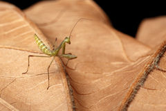 Praying Mantis - religiosa Stock Images