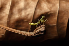 Praying Mantis - religiosa Stock Image