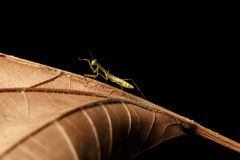 Praying Mantis - religiosa Stock Photography