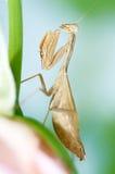 Mantis on a rose Stock Photos