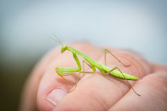 The praying mantis is resting on my arm Stock Photos
