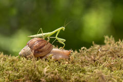 Praying mantis riding a snail travels on grass Stock Images