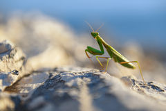 Praying Mantis on rocks Royalty Free Stock Photography