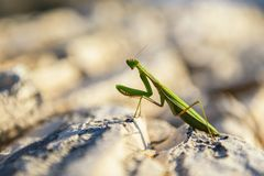 Praying Mantis on rocks Royalty Free Stock Images
