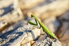 Praying Mantis on rocks Royalty Free Stock Image