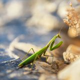 Praying Mantis on rocks Stock Image
