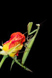 Praying Mantis on a Rosebud Royalty Free Stock Images