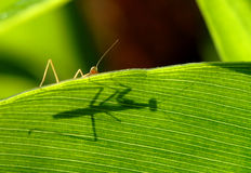 Praying mantis's shadow. Praying mantis on the above corn leaf royalty free stock photography