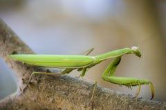 Praying mantis on branch. Green praying mantis on branch Royalty Free Stock Photography