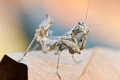 Praying mantis scientific name empusa pennata Royalty Free Stock Photo