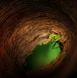 Praying mantis in a secret base. A praying mantis stay on its secret base Royalty Free Stock Photos