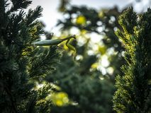 Praying Mantis sits on the juniper in the direction of the other branch. stock photo