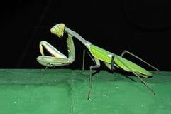 Praying Mantis. Stock Images