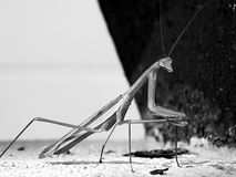 Praying Mantis on some sand Royalty Free Stock Images