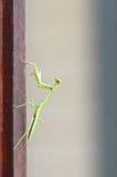Praying Mantis (Stagmomantus carolina). Close up of young praying mantis (Stagmomantus carolina Royalty Free Stock Images