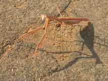 Praying mantis standing  on  concrete. Stock Images