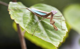 Praying Mantis standoff Royalty Free Stock Photos
