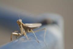 Praying Mantis Staring You Down Royalty Free Stock Photo