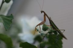 Praying Mantis stealthy beauty royalty free stock photography