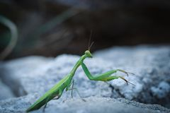Praying mantis on a stone. stock image