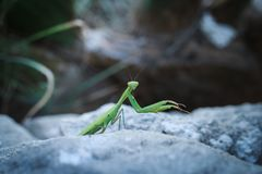Praying mantis on a stone is watching you. royalty free stock photo