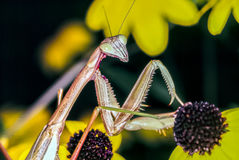 Praying Mantis in summer Royalty Free Stock Image