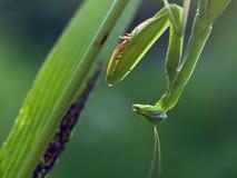 Praying mantis at sunset Stock Image