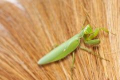 Praying mantis take smile action. The praying mantis take smile action royalty free stock image