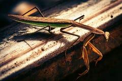 Praying Mantis on Tracks Royalty Free Stock Photos