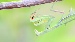 Praying Mantis on Tree branch. stock video