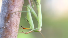 Praying Mantis on Tree branch. stock footage