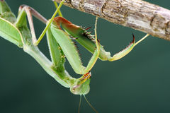 Praying mantis on a tree, close-up Royalty Free Stock Image