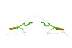Praying mantis vs praying mantis 1a Stock Photo