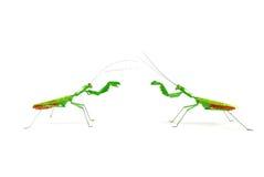 Praying mantis vs praying mantis 1a Stock Photo
