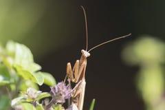 Praying Mantis. Waiting on the flower Stock Image
