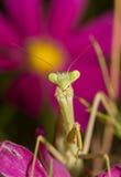 Praying Mantis waiting for prey Stock Photo