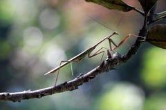 Mantis on branch, insect, macro. Praying mantis walking on branch stock images
