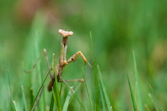 Praying mantis walking in grass Royalty Free Stock Photo