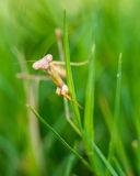 Praying mantis walking in grass Royalty Free Stock Image