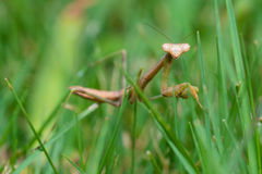 Praying mantis walking in grass Stock Images