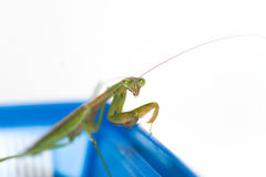 Praying Mantis on White Stock Photo