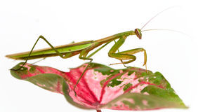 Praying Mantis on White Stock Photos