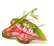 Praying Mantis on White Stock Image
