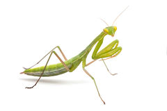 Praying mantis. On white background Stock Images