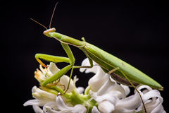 Praying mantis on white flower Royalty Free Stock Photography