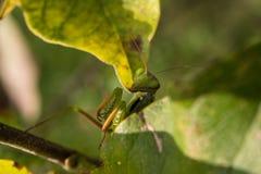 Praying Mantis Royalty Free Stock Image