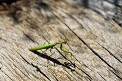 Praying mantis (Mantis religiosa) Stock Image