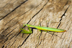 Praying mantis (Mantis religiosa) Royalty Free Stock Photos