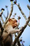 Praying Monkey Royalty Free Stock Photo